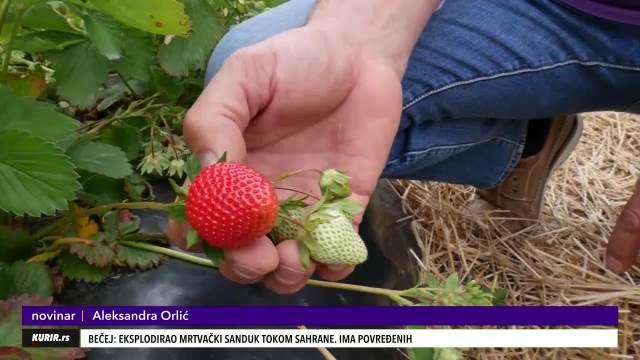 MOJE JAGODE SU NAJSLAĐE! Nikola Miletić se već 20 godina bavi uzgojem ovog voća, a u posao su uključeni svi članovi porodice! (KURIR TV)
