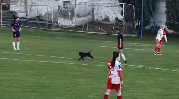 HOĆE I ON DA ZAIGRA SA FUDBALERKAMA: Ovako je pas prekinuo duel u Novom Sadu VIDEO
