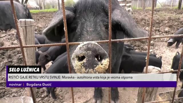 Moravka, autohtona svinja sa ovih prostora