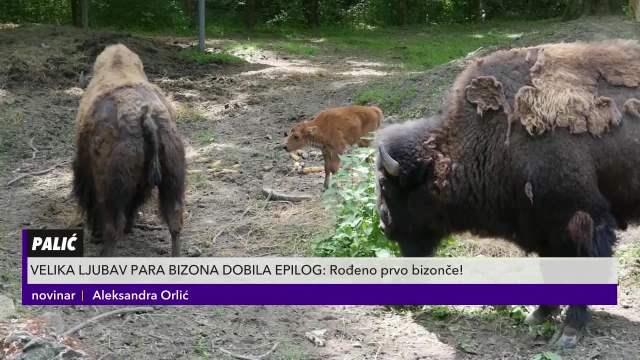 Beba bizona došla na svet u Zoološkom vrtu na Paliću