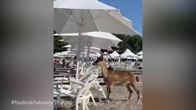 Koze prošetale plažom u Albaniji