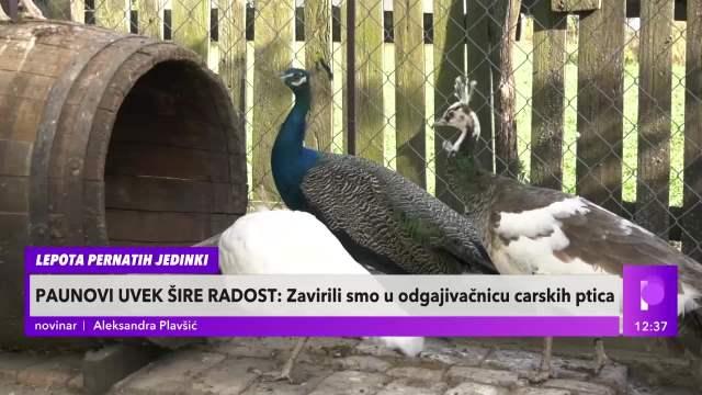 SRBI MASOVNO KUPUJU PAUNOVE: Ptice štite od bolesti, šire pozitivnu energiju i najavljuju nepogodu
