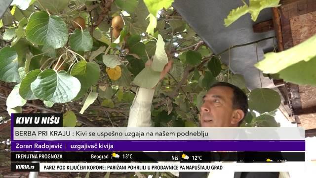 KIVI USPEVA I NA JUGU SRBIJE: Nišlije od tri stabla dobiju 100 kg sočnog ploda (KURIR TELEVIZIJA)