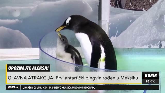 ON JE PRINC ALEKS! Upoznajte prvog antartičkog PINGVINA! Za njega su se naučnici borili punih pet godina (KURIR TELEVIZIJA)